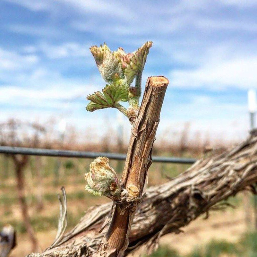Budding West Texas wine grapes in the Texas High Plains AVA