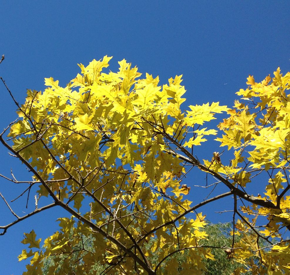 How To Combat Yellowing Leaves On Your Landscape Trees