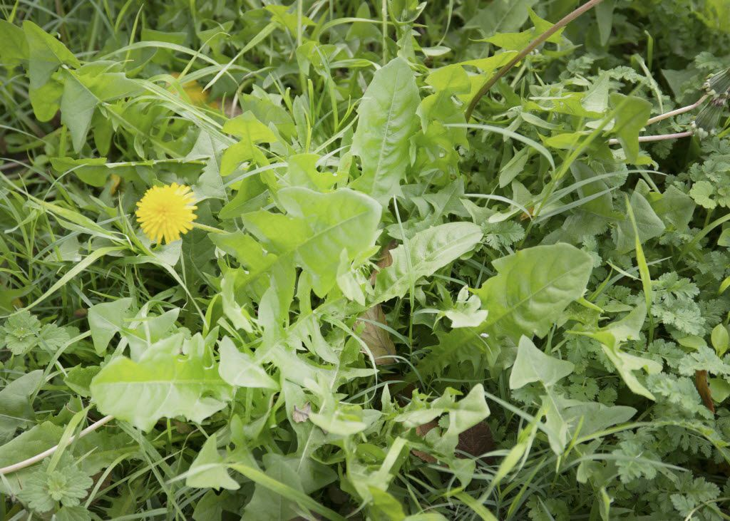 Dandelions are a common weed.