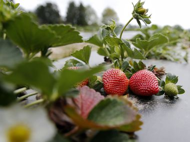 Strawberries at Highway 19 Produce & Berries in Athens
