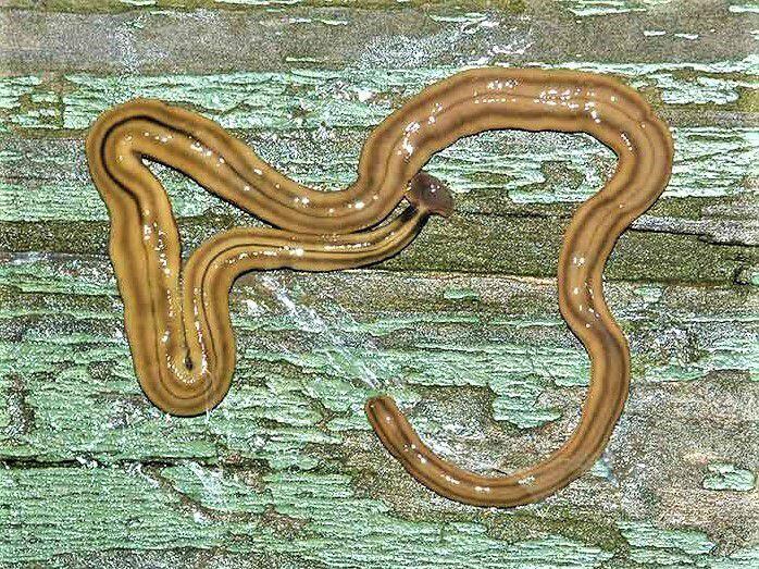 Los gusanos cabeza de martillo, o hammerhead flatworm, pueden provocar reacciones alérgicas en humanos.