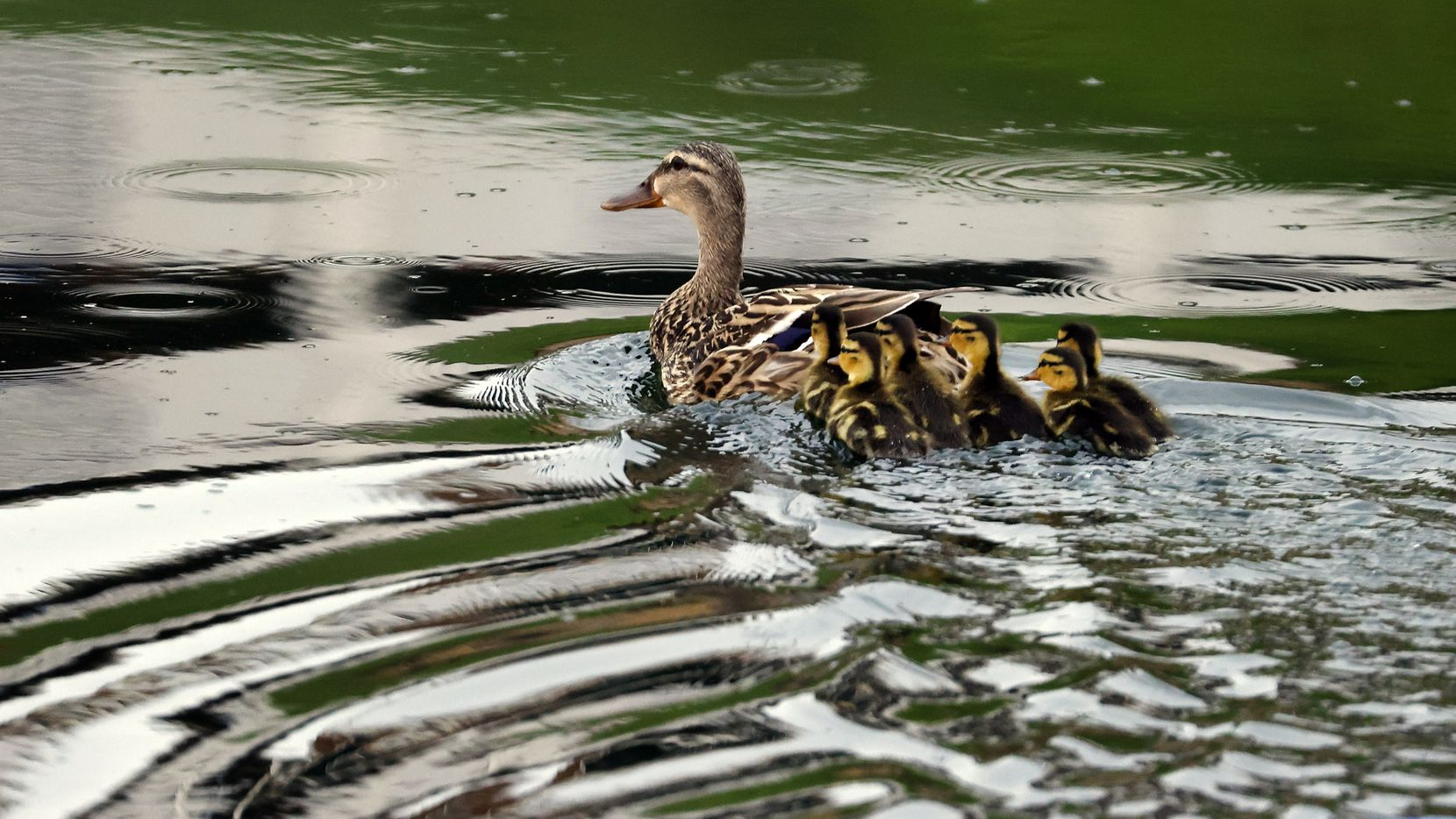 File photo of a mother duck and her ducklings.