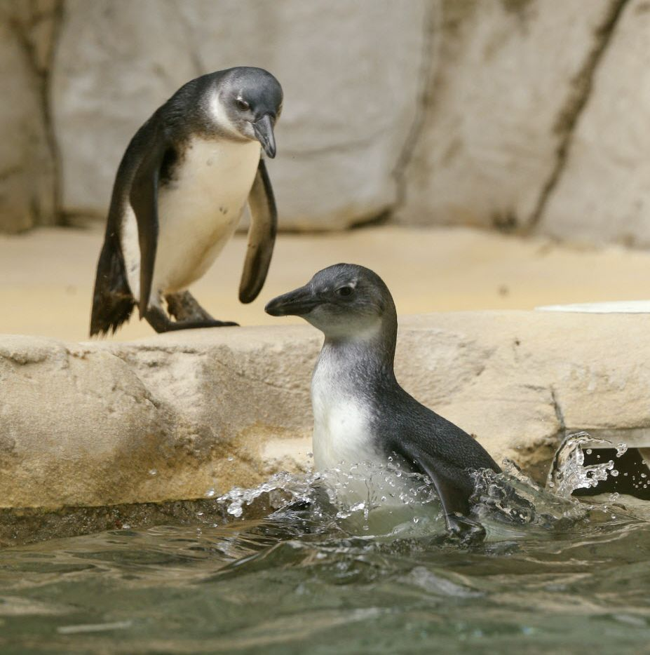 The Dallas Zoo's brother-sister penguin chick pair, Opus and Moshi, take their first swim in Dallas on March 22, 2017. Another African penguin was born at the zoo on Feb. 15.