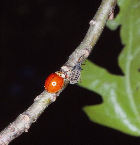 A Harmonia lady bug attacks a giant bark aphid.