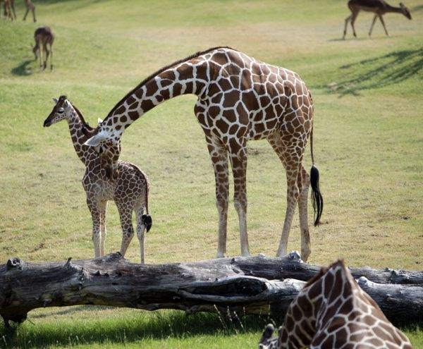 Mother giraffe Katie nuzzles baby giraffe Jamie at the Dallas Zoo. Jamie was named after James Sikes, a Lakewood boy who died of a brain tumor.