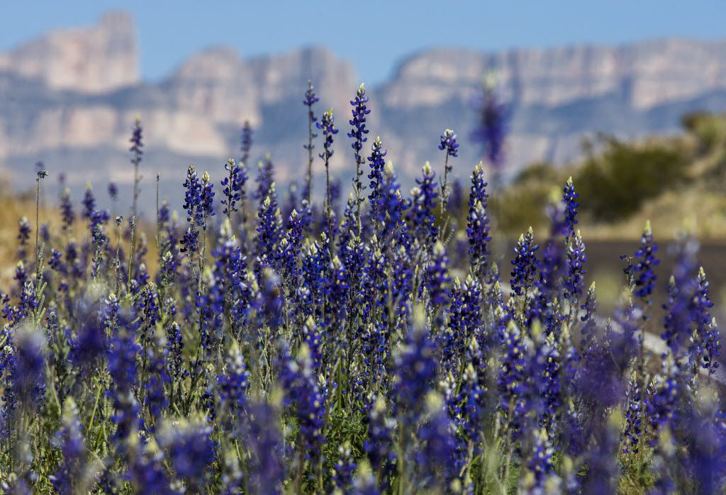 Bluebonnets grow next to Park Rte 12 near the Chisos Mountains on Saturday, February 27, 2016 in Big Bend National Park, Texas. (Ashley Landis/The Dallas Morning News)