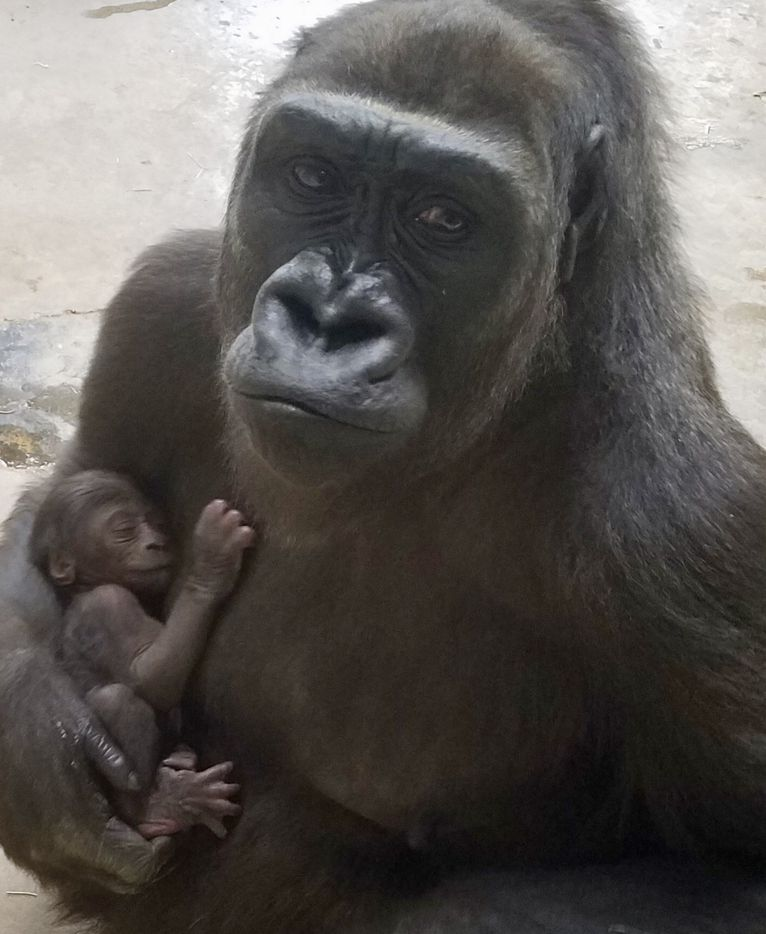 Megan, a 13-year-old Western lowland gorilla at the Dallas Zoo, holds her sleeping baby shortly after giving birth Thursday, March 7, 2019.