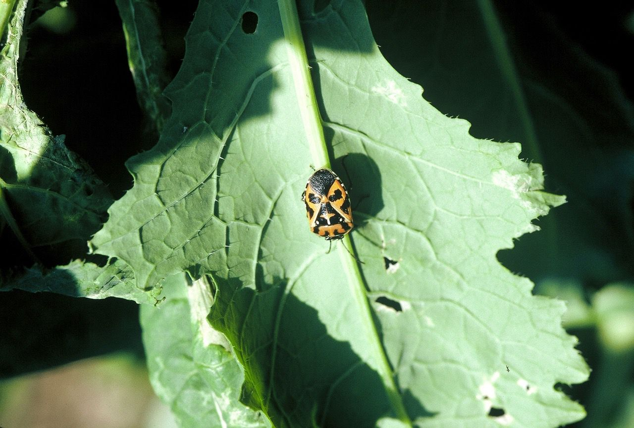 Harlequin bugs can destroy a garden in a hurry. But they are actually just trying to tell you something: It's time to change to heat-loving crops.