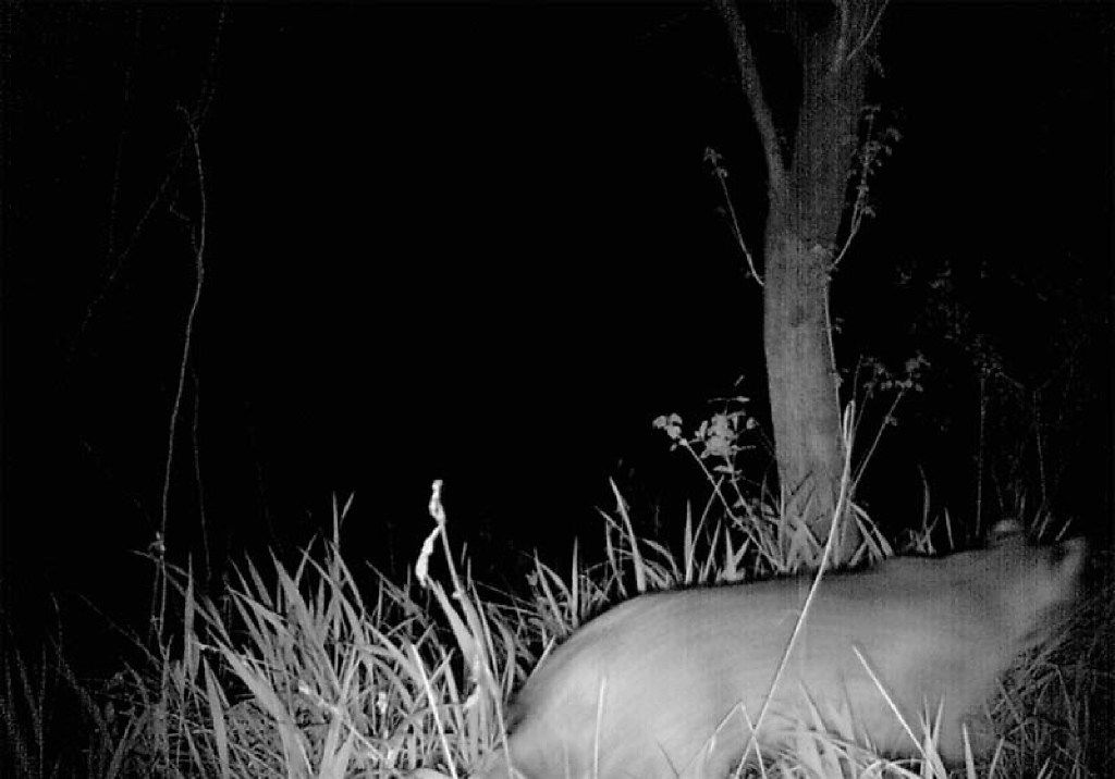 A 2015 photo from a game camera required an on-site visit from urban wildlife expert Chris Jackson to conclude whether it shows a mountain lion or a bobcat.