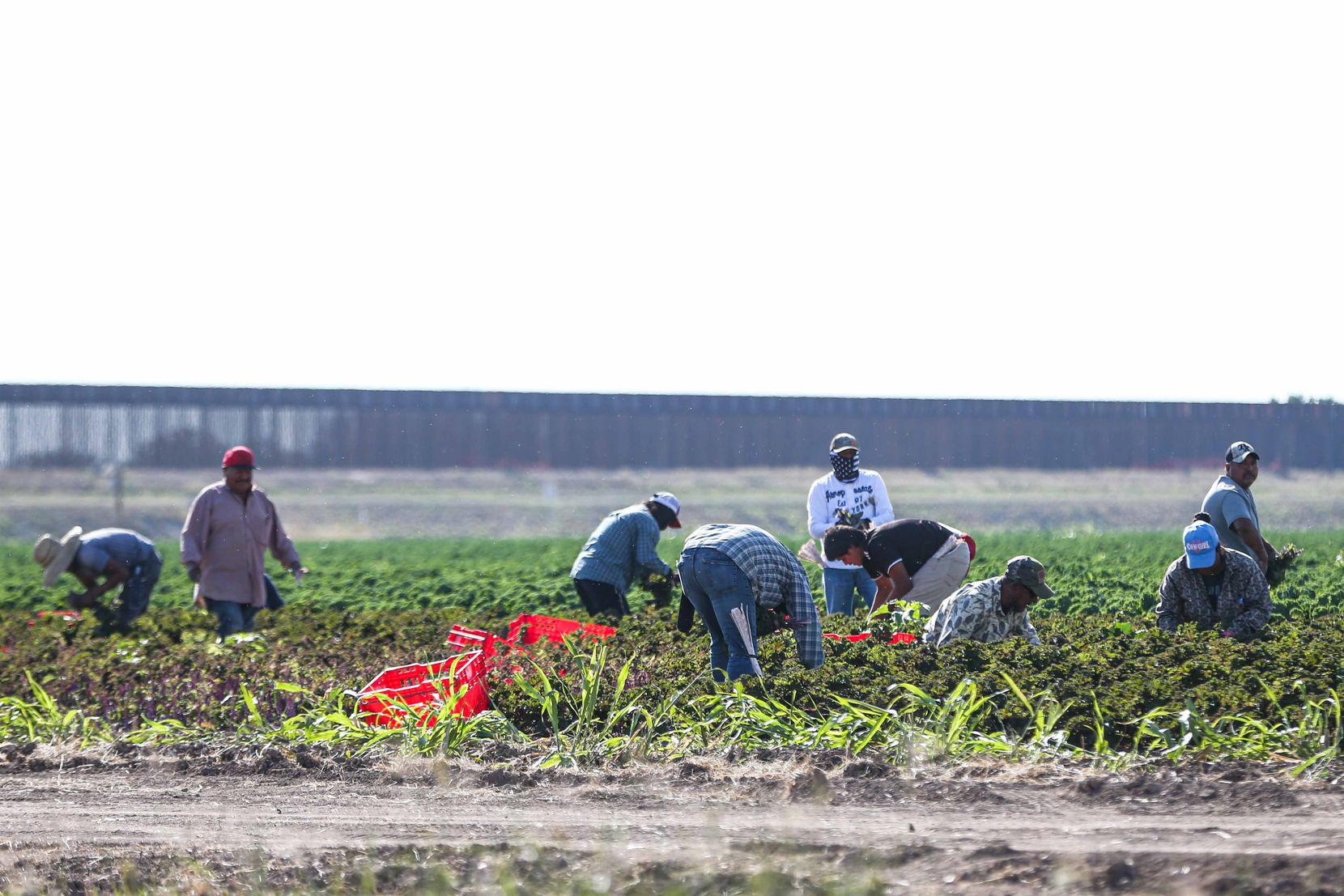 Workers harvesting the land while a new section of the wall is being built in Pharr, Texas on Wednesday, January 13, 2021. (Lola Gomez/The Dallas Morning News)