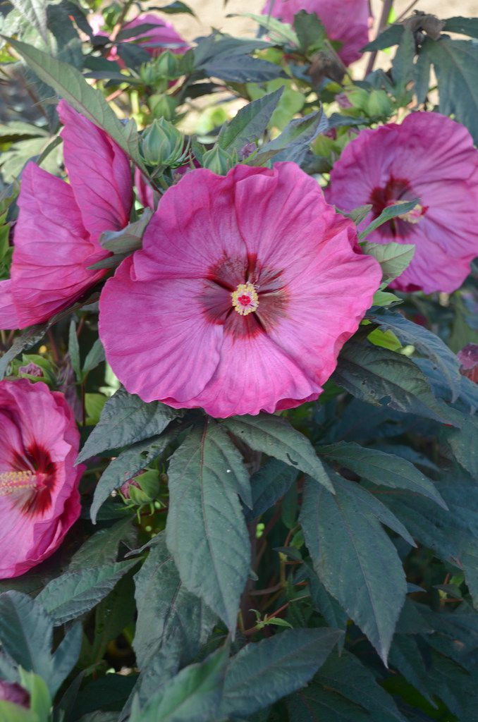 Summerific 'Berry Awesome' Rose Mallow Hibiscus hybrid  from Proven Winners