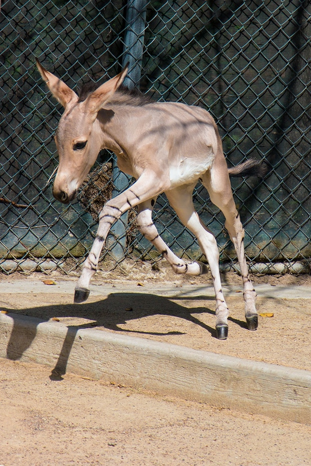 Naima plays in the behind-the-scenes exhibit at the Dallas Zoo. Kalila was born July 9 and Naima was born 10 days later.