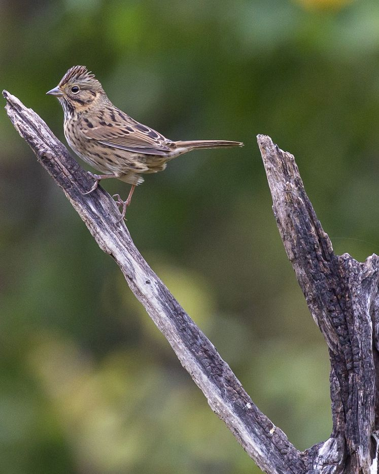 A Lincoln's sparrow perches on a branch at the Old Fish Hatchery nature area at the south end of White Rock Lake in Dallas on Monday, Oct. 19, 2020. In early October, Oncor used heavy machinery to create wide clear-cutting on either side of power towers in the area, and covered the delicate pond floor ecosystem with mulch.