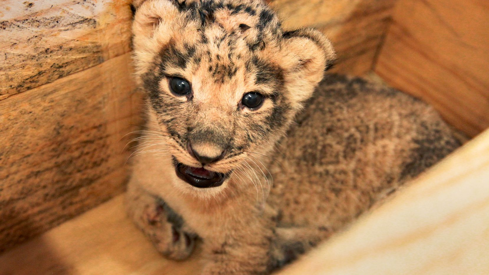 One of two female cubs born at the Dallas Zoo on August 17, 2020, weighs in at 2.1 kilograms after two weeks. The two, along with a male cub, represent the zoo's first new African lion litter since 1974.