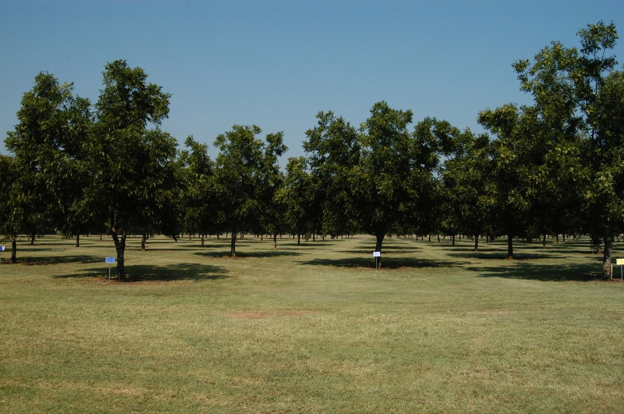 Pecan trees can be farmed using organic methods.