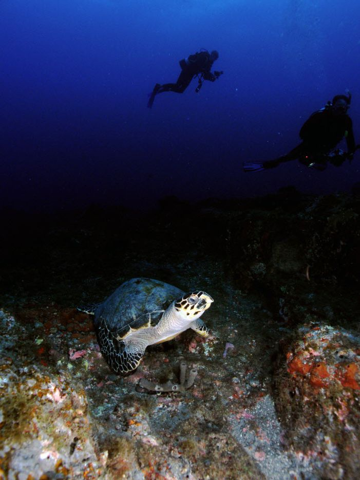 A hawksbill sea turtle rests on the bottom at Stetson Bank while divers observe from a distance at Flower Garden Banks National Marine Sanctuary. (Emma Hickerson/Flower Garden Banks National Marine Sanctuary)