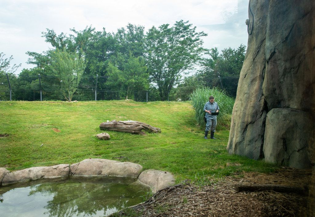 Personnel help prepare the new habitat for the Dallas Zoo's newest species, an African painted dog named Ola.