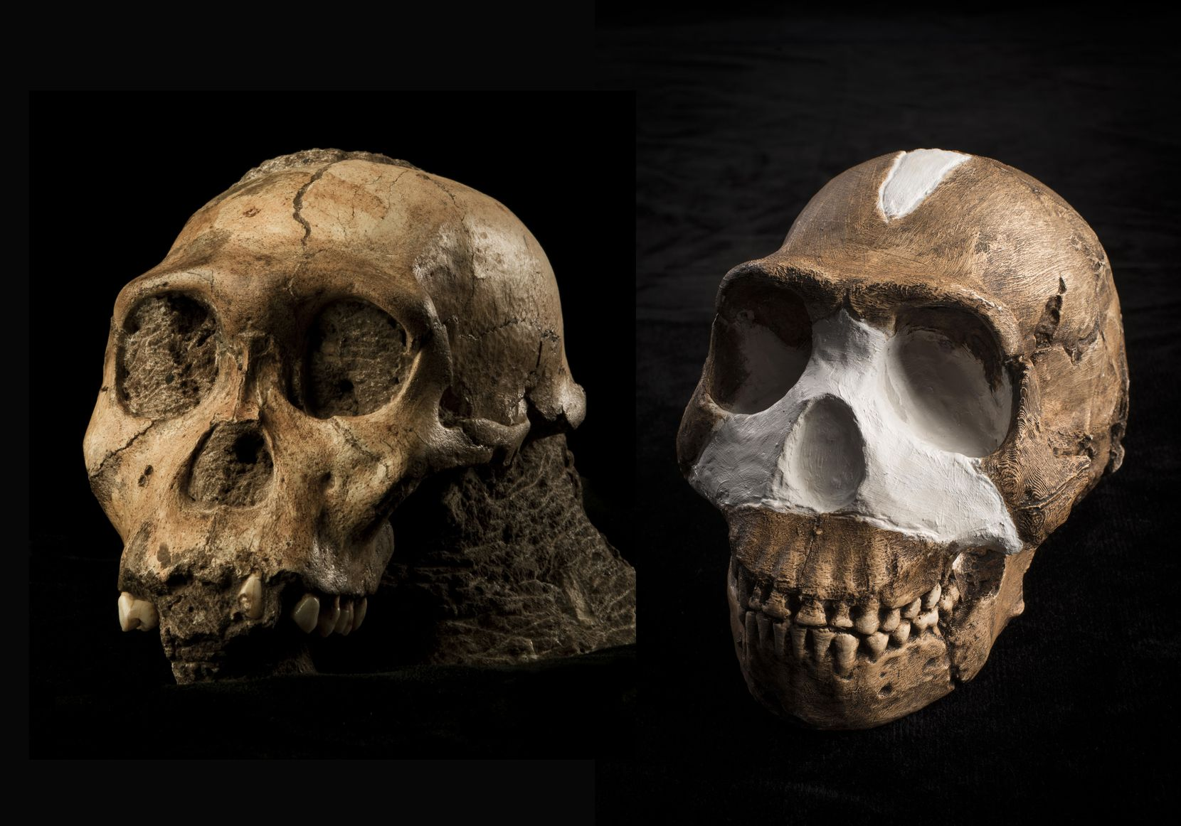 "The fossil skulls of Australopithecus sediba (left) and Homo naledi (right), early human relatives. The skulls are part of the Perot Museum of Nature and Science exhibit, ""Origins."""