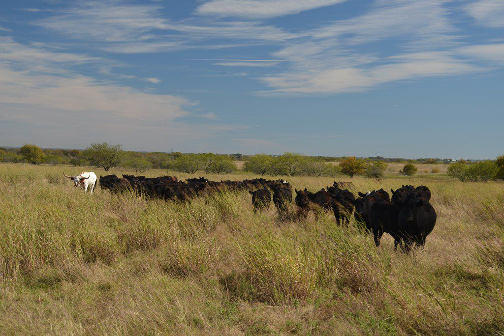 The tall grass around his herd of Black Angus heifer tells rancher Jon Taggart the pasture's healthy. The lone longhorn helps Taggart when he needs to lead the herd to a different location.