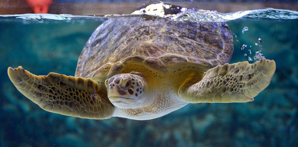 Thalassia swimming in a display at Sea Turtle Rescue Center in Grapevine, Texas, Monday, June 18, 2018. Thalassia is a sea turtle that was hurt by a boat and can not be released back into the wild. Sea Turtle Rescue Center is a new addition at SEA LIFE Grapevine Aquarium. (Max Faulkner/Star-Telegram via AP)