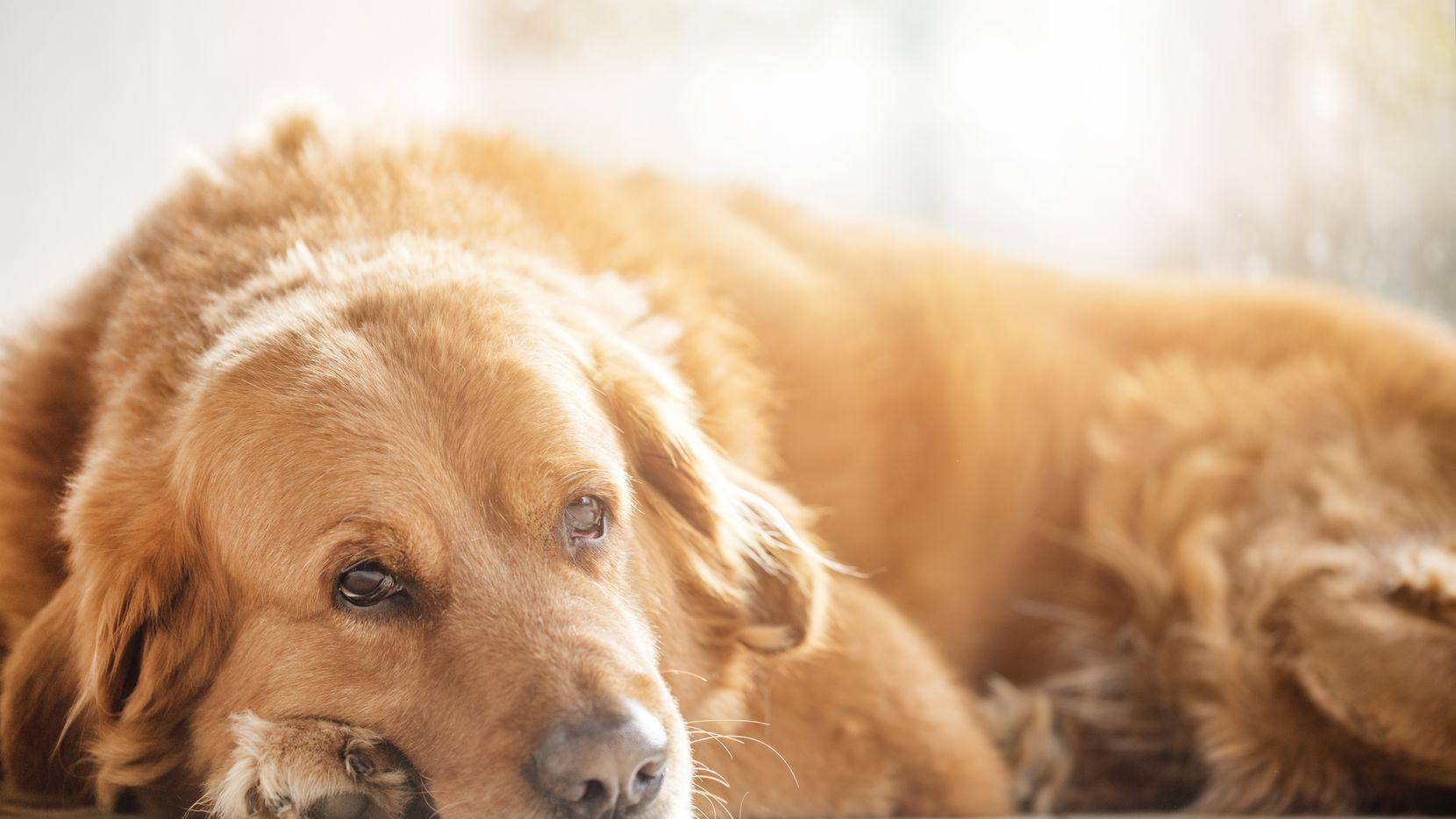 """gAlgunos canes, además, chillan o """"lloran"""" para llamar la atención de sus dueños o para pedir comida y cariño."""