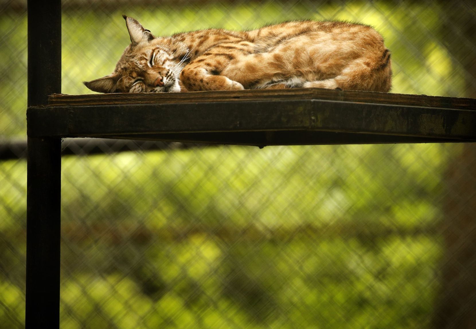 A bobcat naps at In-Sync Exotics in Wylie, Texas on May 15, 2020.  (Tom Fox/The Dallas Morning News)