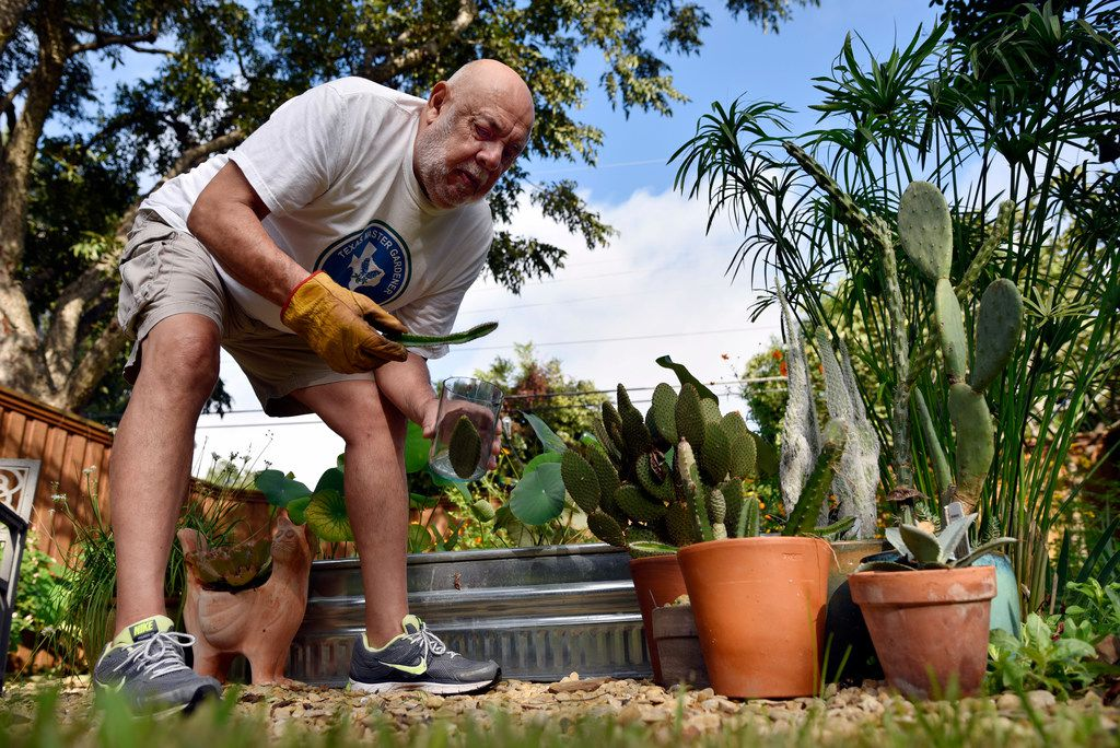 Felix Saucedo trims an assortment of cacti in his backyard garden in Dallas.