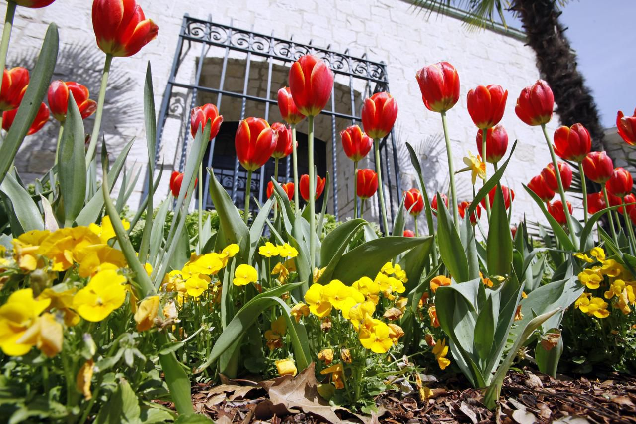 'Nature Yellow' pansies bloom with gold-edged 'World's Favourite' tulips near the DeGolyer House.