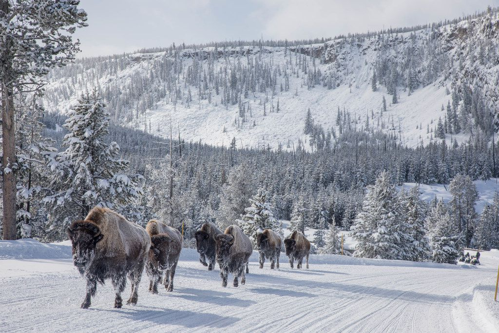 Frosted bison are a common sight at Yellowstone National Park in the wintertime.