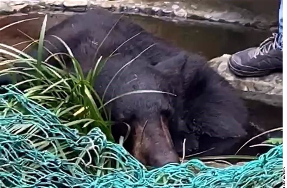 La Procuraduría Federal de Protección Ambiental de México investiga la razón por la que el oso 'sociable' capturado en NL fue castrado a pesar de ser una especie protegida.
