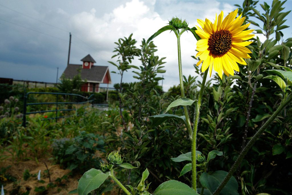 A sunflower blooms in the vegetable garden at Golden Farms.