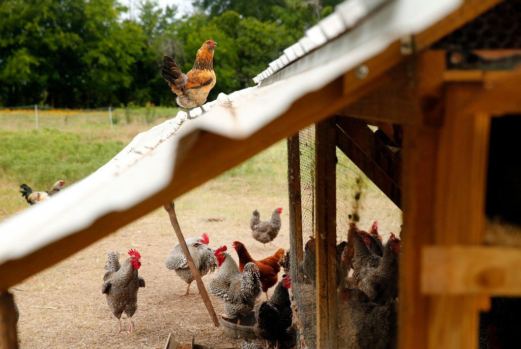 A rooster struts about the roof of a hen house as others take cover on the Bois d'Arc farm in Allens Chapel, Texas.