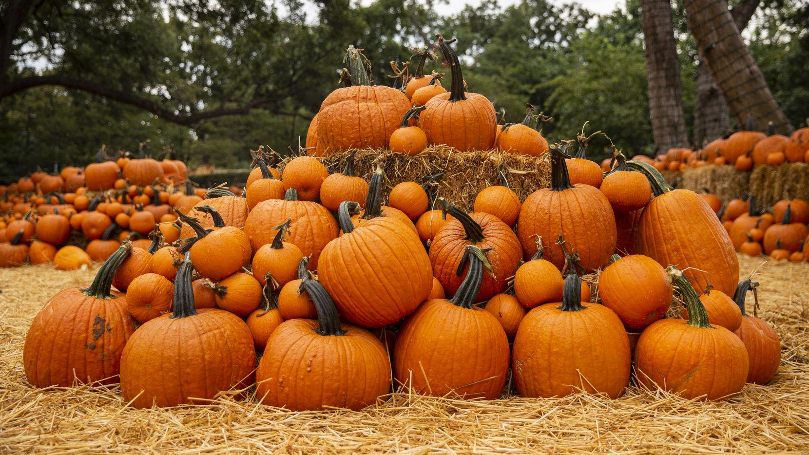 Pumpkins on display at the Dallas Arboretum's Pumpkin Village on Sept. 9, 2020 in Dallas. (Juan Figueroa/ The Dallas Morning News)