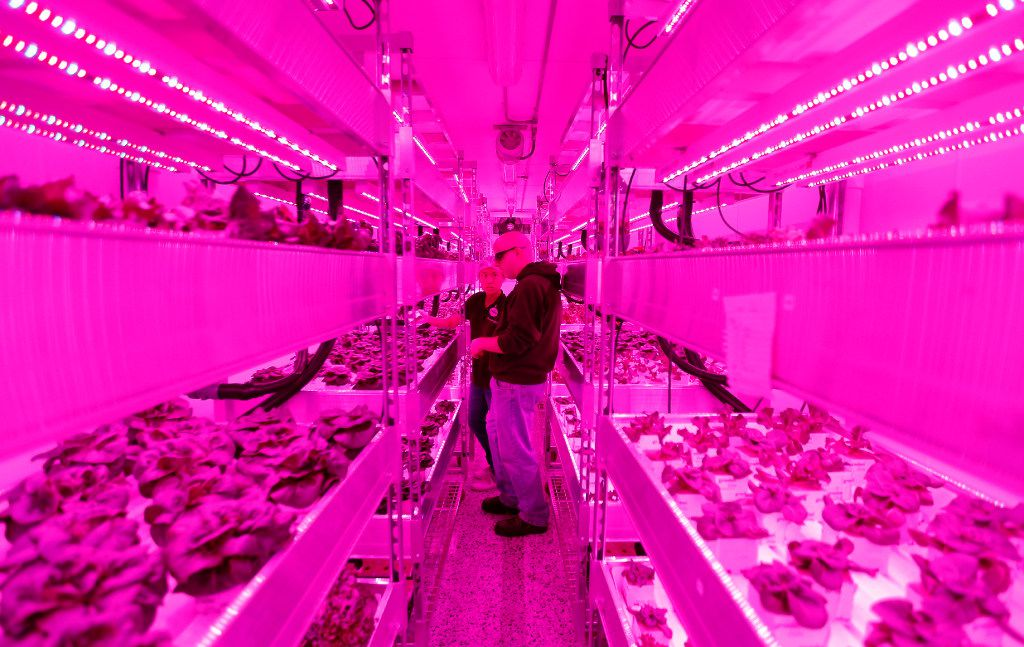 Growers Rebecca Jin (left) and Christopher Pineau tend to plants inside a vertical farm in the back of the Central Market grocery store in Dallas, Thursday, April 6, 2017. Central Market is trying out indoor growing, and the crops will be  sold in the store beginning in May. (Jae S. Lee/The Dallas Morning News)