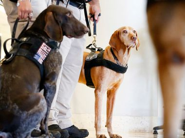 TSA explosive detection canine Bovli (right) joined other dogs for a demonstration at DFW International Airport on Wednesday.  They were demonstrating the bomb-sniffing canine units that are used at airports across the country.