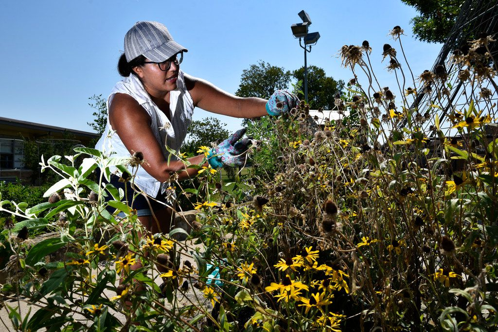 Parent and volunteer Maria Amaya, 36, tends to a wildflower garden bed in the Edwin J. Kiest Elementary School garden on July 25, 2018 in Dallas. (Torres/Special Contributor)