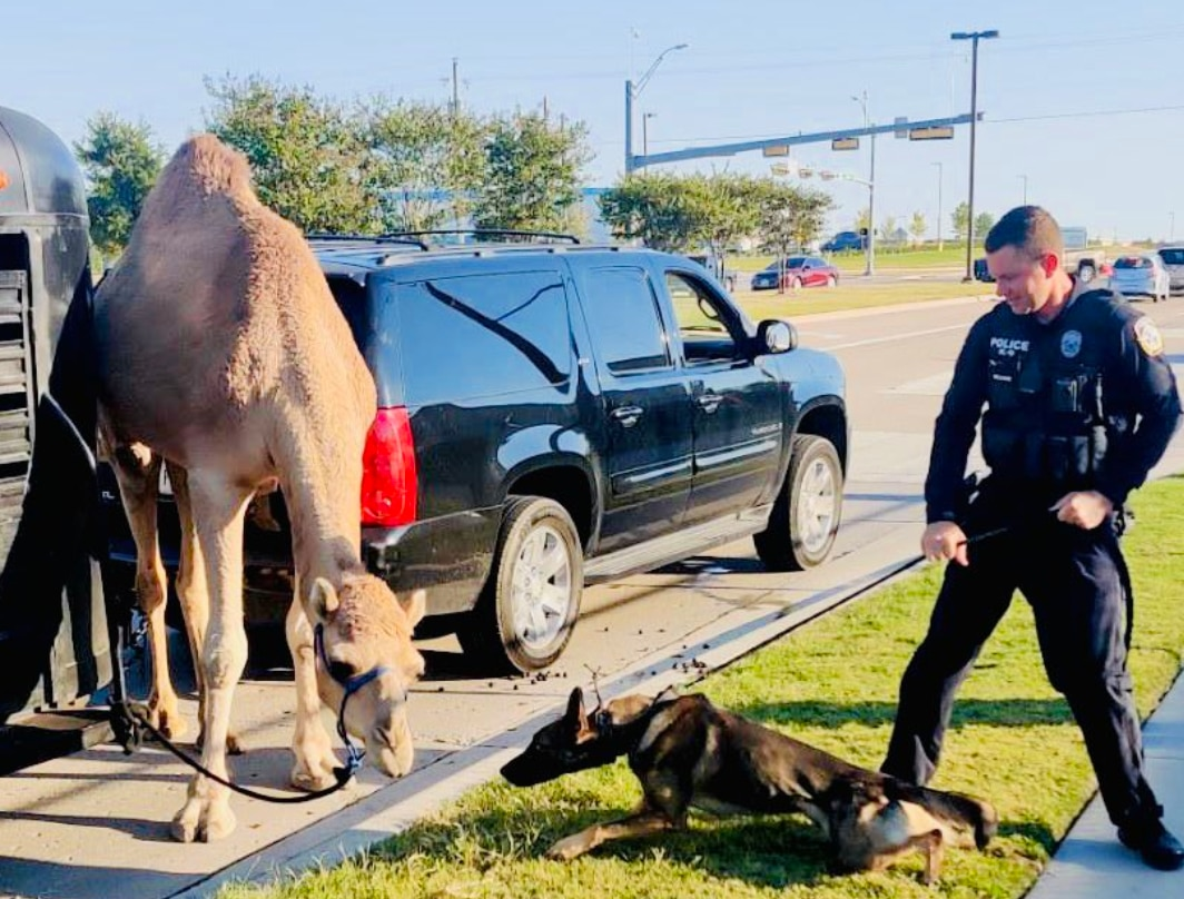 McKinney police officer Brad Williams and his K-9 colleague Jedi responded to a camel (and its driver) over the weekend.