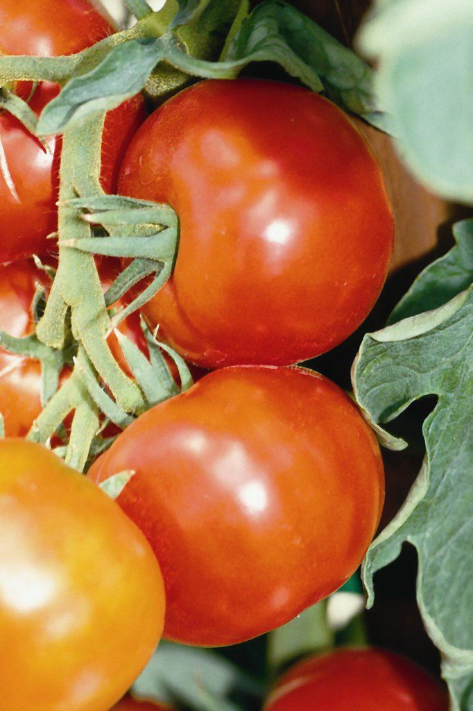 The 'Early Girl' tomato is a proven all-round early hybrid.