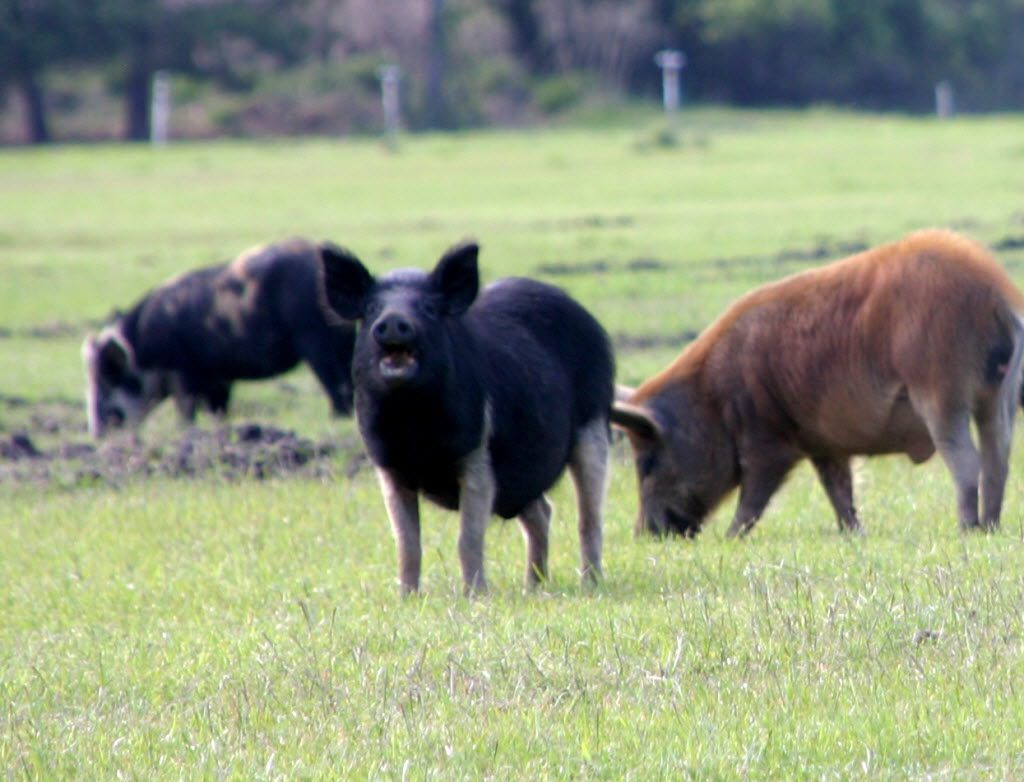 A feral hog lifts his head to look toward the camera. The saying goes that when a feral hog sow has six piglets, only eight are expected to survive. That's no joke to farmers who have to deal with the 400-pound animals in Texas, the second-largest agricultural state and home to about half the nation's feral hogs.