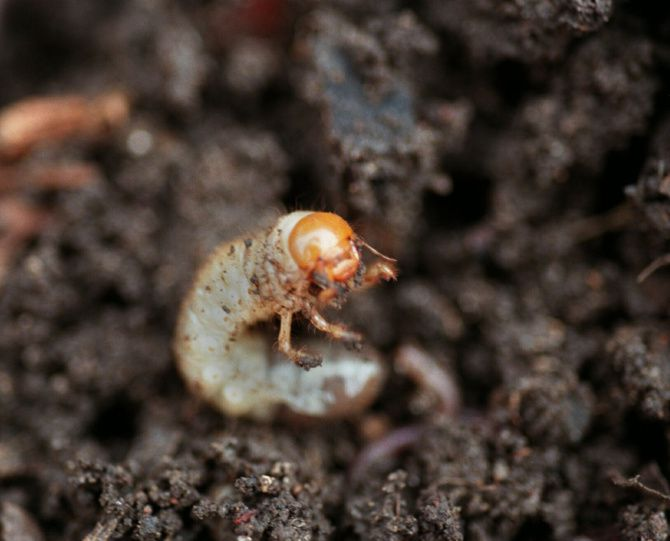 Don T Destroy Grub Worms In Compost