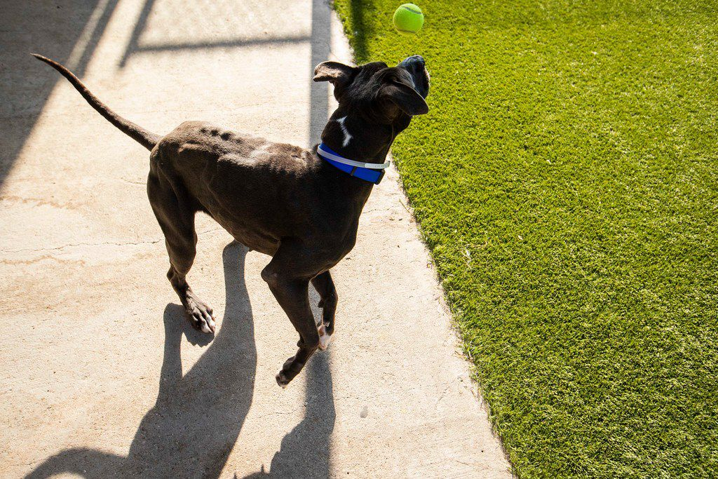 Bonnet plays with a tennis ball in the yard at the Dallas Animal Services & Adoption Center on Monday, June 11, 2018, in Dallas. Bonnet was placed on a 10-day hold waiting for her owner to pick her up before she became eligible for adoption.