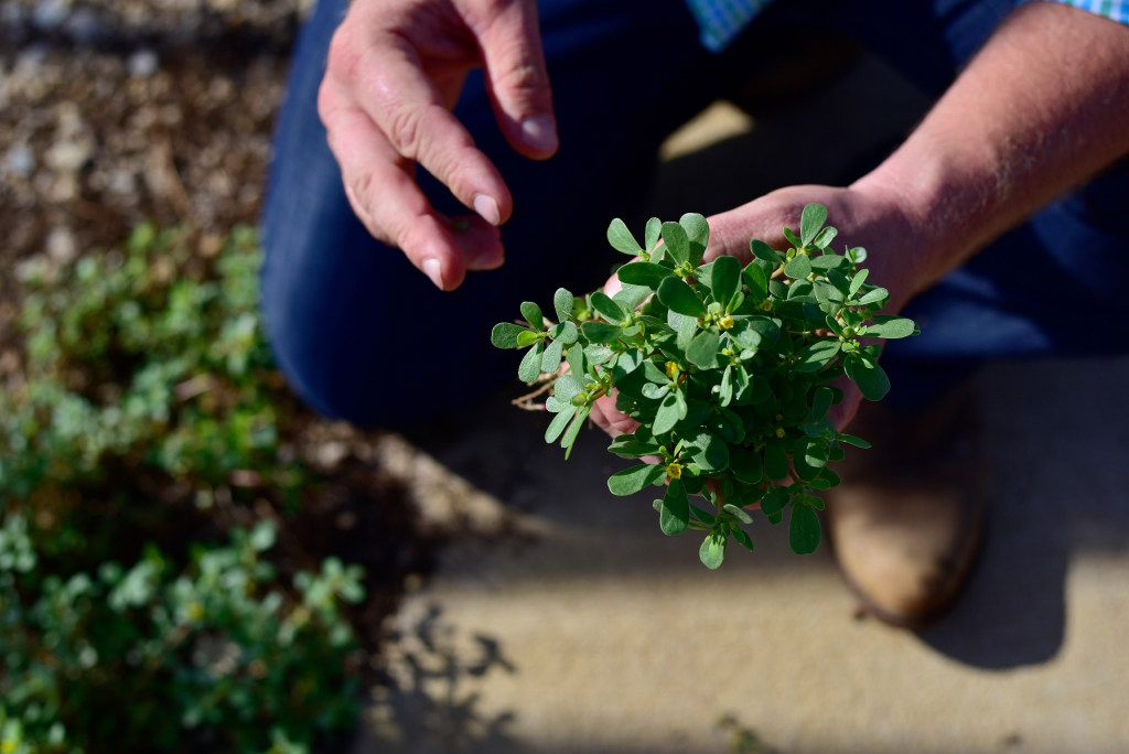 Daniel Cunningham forages for edible stems and leaves of purslane.