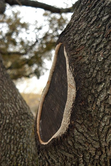 This improper flush cut on a tree is healing unevenly.