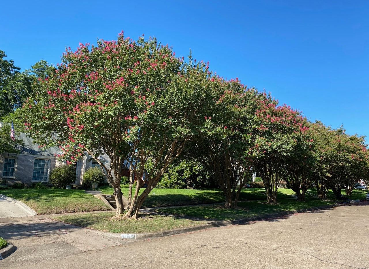 These crape myrtles on McCommas Boulevard in Dallas show us how the trees are meant to look — with natural shapes and exposed root flares.