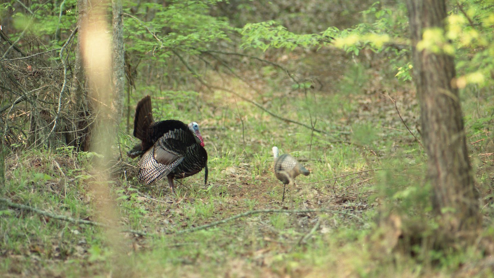 Spring is the breeding season for wild turkeys. The allure for spring turkey hunters is the challenge of calling a mature tom into shotgun range, 30 yards or less.