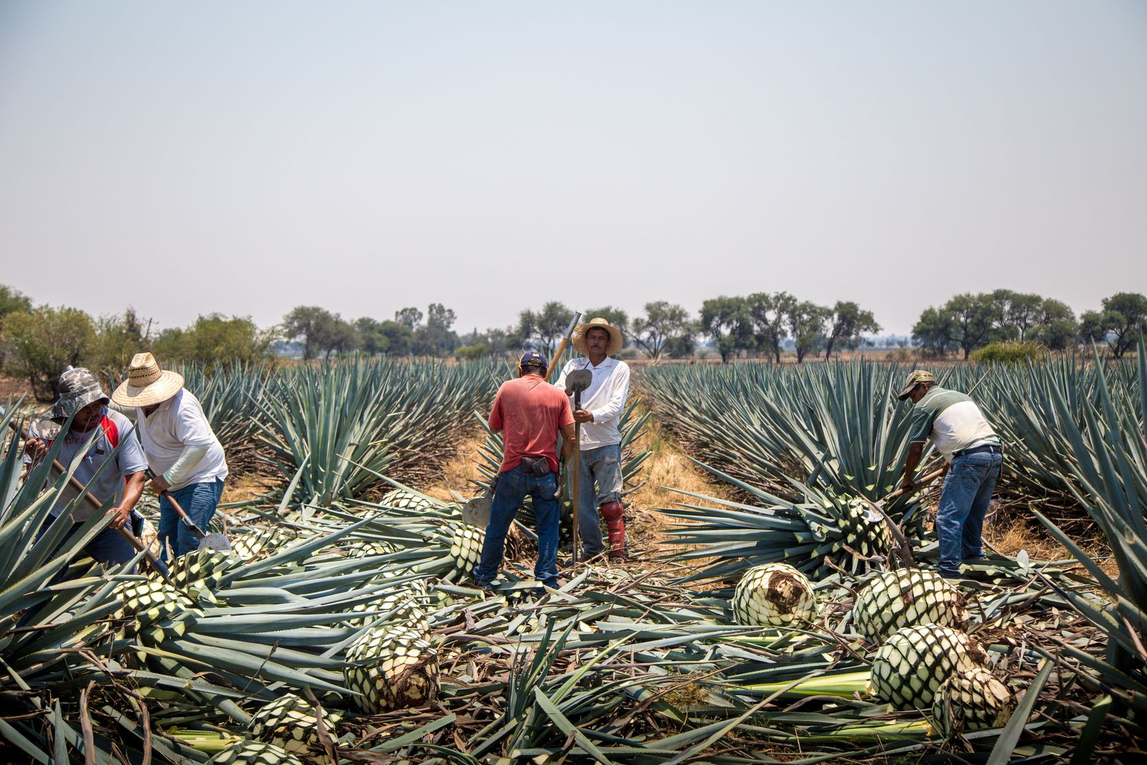 Farmers work in the agave fields of the Jaliscan Highlands in Mexico.