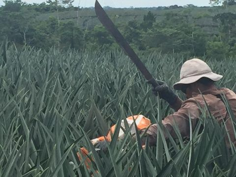 A farmworker in a Costa Rican organic pineapple field.