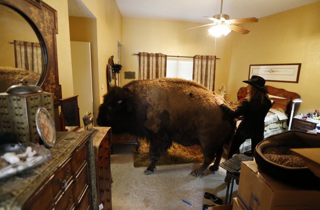 Bullet heads toward the door as her owner Karen Schoeve directs her bison out of her bedroom in Argyle, Texas on Friday, May 13, 2016. Bullet lives outside but occasionally walks through the house to visit. (Vernon Bryant/The Dallas Morning News)