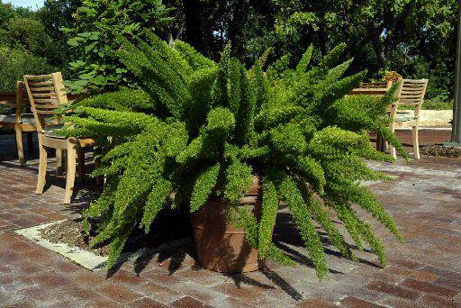 A giant asparagus fern at the Dallas Arboretum.