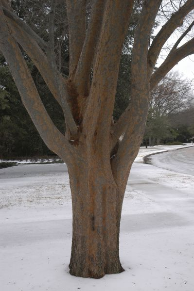 Lacebark elm. Known for its coppery and orange exfoliating bark, this medium-size tree also has great fall color. It grows quickly, is drought-tolerant and will handle the alkaline soil found throughout North Texas. It needs proper pruning to help it develop a strong branch structure.